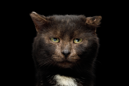 Portrait of unusual tranquility brown cat look like bear on isolated black background, front view with bite ear Banco de Imagens