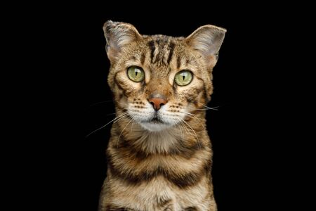 Portrait of Bengal Cat with with frostbitten ears on isolated Black Background, front view Stock Photo