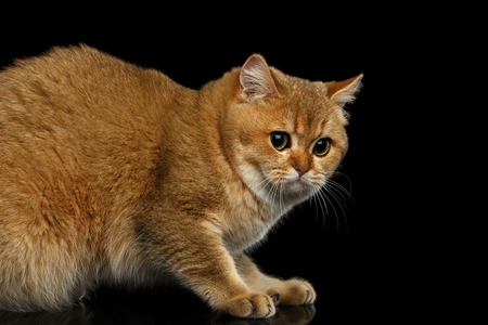 horrify: Frightened British Cat with Gold chinchilla Fur, Green eyes on Isolated Black Background, side view