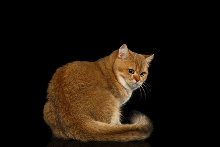 Frightened British Cat with Gold chinchilla Fur, Green eyes on Isolated Black Background, side view Stock Photo - 75687818