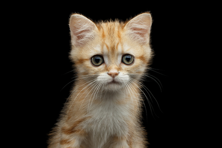 Close-up Portrait of British Kitten with Red Fur , Green eyes and Ears from Fox, Stare in camera on Isolated Black Background, front view Stock Photo