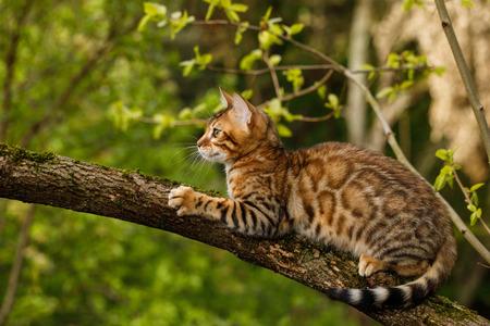 벵골 고양이 사냥 야외, 분기 나무, 자연 녹색 배경