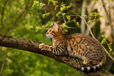 Bengal Cat Hunting outdoor, on branch tree, Nature green background Banco de Imagens - 77359044