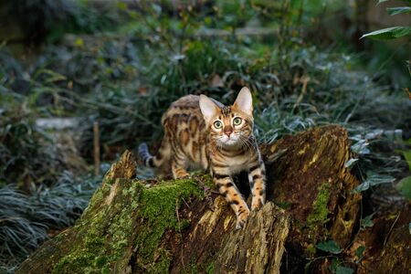 head stones: Bengal Cat Hunting in forest, Nature green background