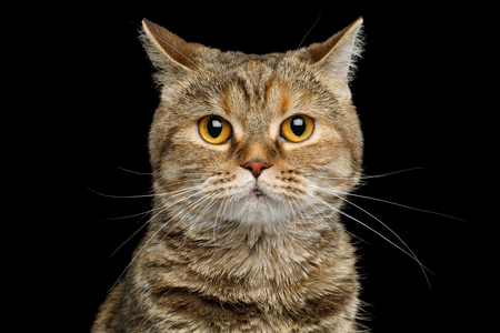goffo: Portrait of scottish fold breed Cat with Clumsy face on isolated black background