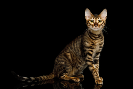 Toyger Cat Sitting on isolated Black Background, side view Фото со стока