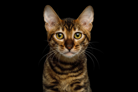 Portrait of Toyger Cat, Cute face on isolated Black Background, front view Stock Photo
