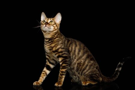Toyger Cat Sitting on isolated Black Background, side view Stock Photo