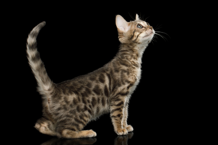 Bengal Kitten on isolated Black Background with reflection, Side view 版權商用圖片