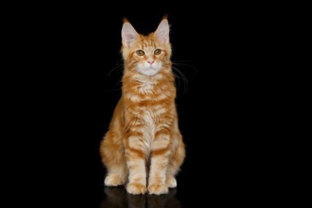 Young Ginger Maine Coon Cat Sitting Looking in Camera Isolated on Black Background, Front view Stock Photo