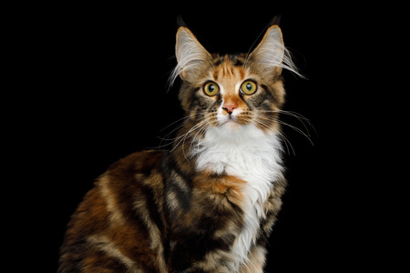 Portrait of Young Maine Coon Cat Sitting and Curious Looking in Camera Isolated on Black Background, Front view