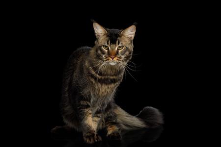 Big Maine Coon Cat Angry Looking in Camera Isolated on Black Background, Front view Imagens