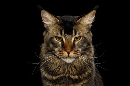 Portrait of Big Maine Coon Cat Angry Looking in Camera Isolated on Black Background, Front view