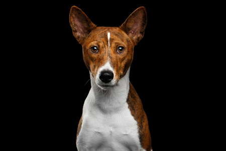 Close-up Humanity Portrait White with Red Basenji Dog waiting Stare on Isolated Black Background, Font view