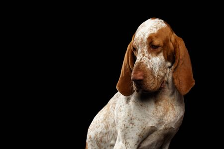 Portrait of Bracco Italiano Dog with Curious face on Isolated Black Background Stock Photo
