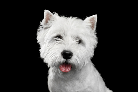 Portrait of West Highland White Terrier Isolated on Black Background Stock Photo