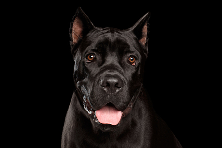 Closeup portrait of beautiful black Cane Corso dog. Studio shot on Isolated black background Imagens
