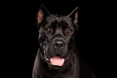 Retrato del primer del perro negro hermoso de Cane Corso. Estudio tirado en fondo negro aislado Foto de archivo - 77877731