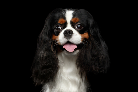 Portrait of Cavalier King Charles Spaniel Dog on Isolated Black Background