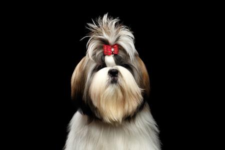 Portrait of Groomed Shih tzu Dog on Isolated Black Background Stock Photo