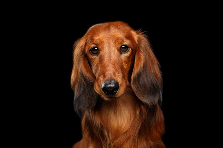 Portrait of Sad Red Dachshund Dog on Isolated Black background, front view