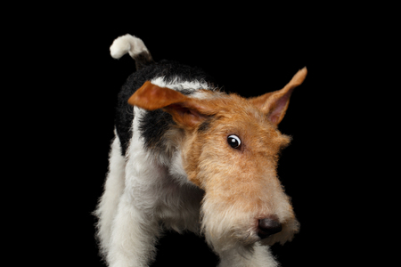 Playful Fox Terrier Dog, Looks funny on Isolated Black Background, front view