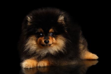手入れの行き届いたミニチュア ポメラニアン スピッツ子犬分離黒地の上に横たわる、フロント ビュー 写真素材