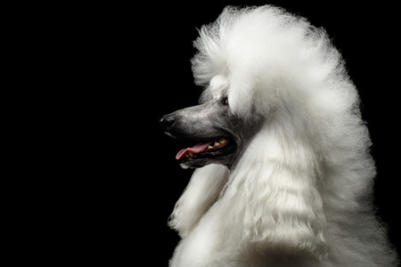 Portrait of White Royal Poodle Dog with Hairstyle Looking at side Isolated on Black Background, Profile view Stock Photo