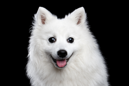 goffo: Portrait of White Japanese Spitz,Funny emotions Dog with Curious face on Isolated Black Background, front view