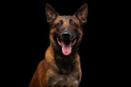 Portrait of Happy Belgian Shepherd Dog Malinois on Isolated Black Background, front view Stock Photo