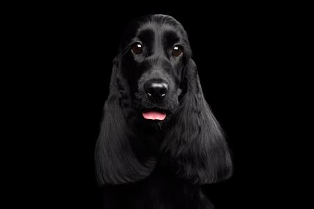 イングリッシュコッカースパニエルの犬の品種、光沢のあるコート、孤立した黒い背景、正面にカメラの巨大な目のクローズ アップの肖像画