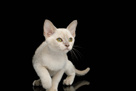 Playful White Burmese Kitten with green eyes on Isolated Black Background