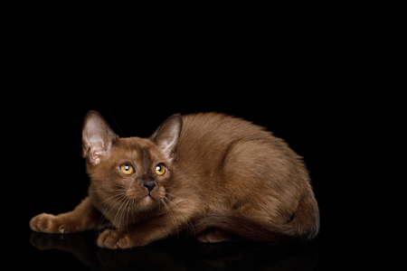 Playful Burmese Kitten with yellow eyes sable fur on Isolated Black Background, side view Stock Photo
