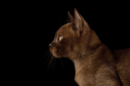 Portrait of Burmese Kitten with yellow eyes sable fur on Isolated Black Background, profile view Stock Photo