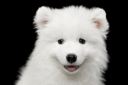Portrait of Furry White Samoyed Puppy isolated on Black background, front view Stock Photo