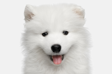Portrait of Furry Samoyed Puppy isolated on White background, front view Reklamní fotografie