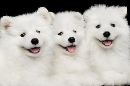 黒の背景、正面に分離されたクローズ アップ ホワイト サモエド子犬フレンドリーな一緒に横に 写真素材