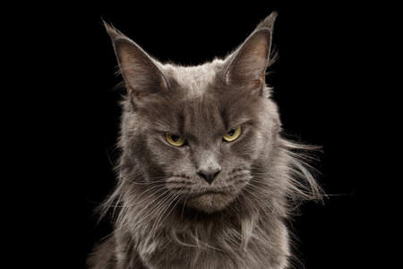 Close-up Portrait of Angry Gray Maine Coon Cat Grumpy Looking in Camera Isolated on Black Background, Front view Stockfoto