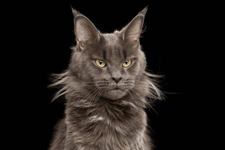 Close-up Portrait of Angry Gray Maine Coon Cat Grumpy Looking in Camera Isolated on Black Background, Front view Banco de Imagens