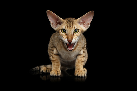 Ginger Peterbald Kitten Meowing on isolated black background, front view