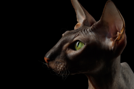 Close-up Portrait of Peterbald naked Cat Looking his Green eyes on isolated black background, profile view