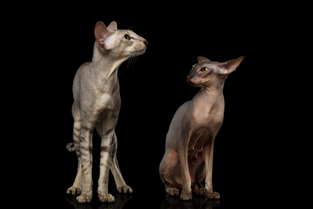 Two Peterbald Cats on isolated black background, female angry looking on male, Curious situation unfaithfulness, front view