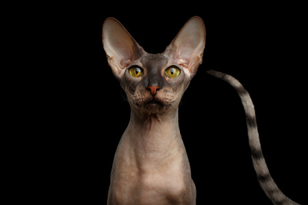 Curious Portrait of Peterbald naked Cat with outsider tail on isolated black background, Front view