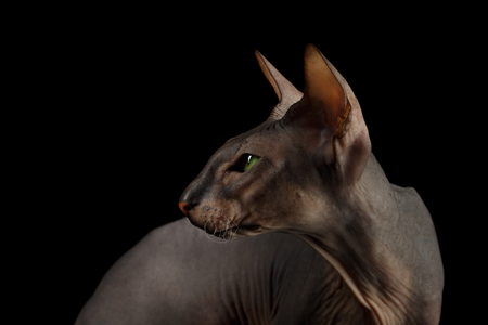 Portrait of Peterbald naked Cat Looking back on isolated black background, profile view Stock Photo