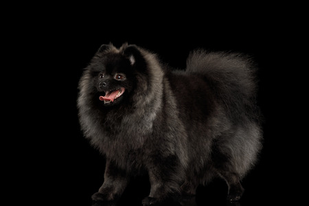 grooming: Furry Pomeranian Spitz Dog Standing on Isolated Black Background, side view