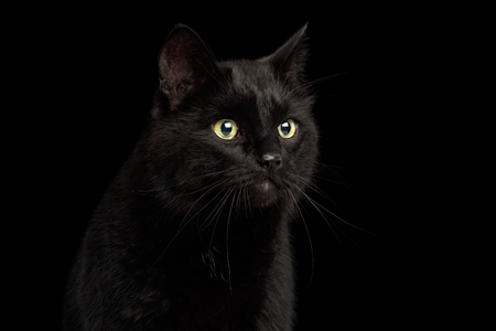 Portrait of Curious Black Cat with Alert face on Isolated Dark Background, front view