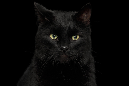 Portrait of Curious Black Cat with annoyed face on Isolated Dark Background, front view Banco de Imagens