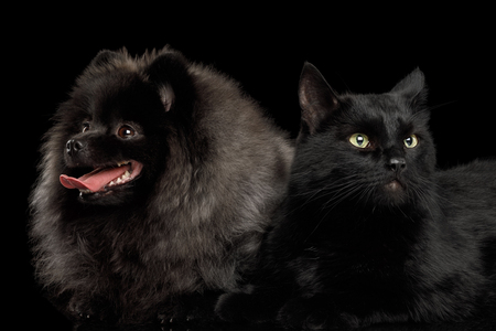 grooming: Furry Pomeranian Spitz Dog Together with Cat Curious Looking at side Isolated Black Background, front view Stock Photo