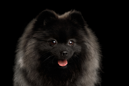 Close-up Portrait of Cute Pomeranian Spitz Dog on Isolated Black Background, front view Stock Photo