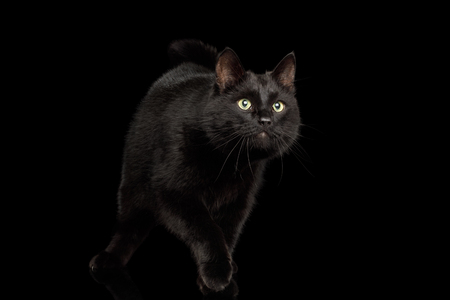 Playful Black Cat crouching on Isolated Dark Background Stock Photo